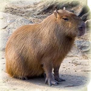 Mammals at Lincs Wildlife - Capybara