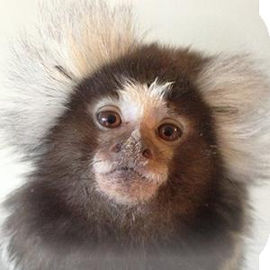 Mammals at Lincs Wildlife - Marmoset Monkeys