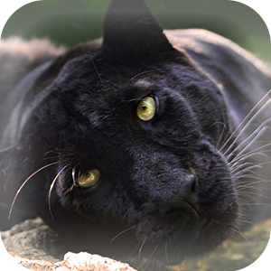 Mammals at Lincs Wildlife - Panther