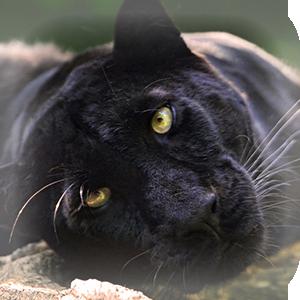 Mammals at Lincs Wildlife - Panther