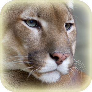 Mammals at Lincs Wildlife - Puma