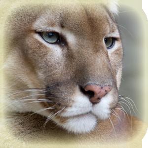 Mammals at Lincs Wildlife - Puma