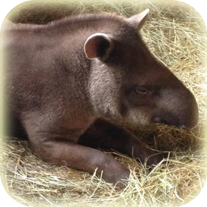 Mammals at Lincs Wildlife - Brazilian Tapir